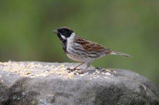 A lovely male Reed Bunting in the Bird Garden.