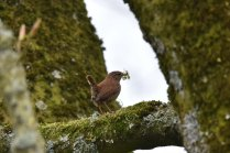 A Wren collecting nesting material