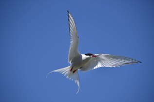 An angelic pose from this Arctic Tern