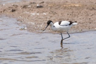This beautiful Avocet was exploring the shallows outside Marshland Hide