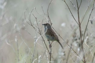 An ethereal-looking Dunnock