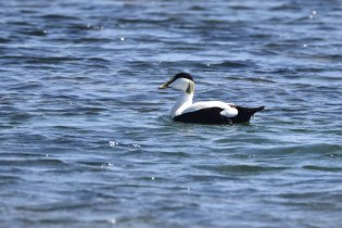 A male Eider Duck - not an Imperial Storm Trooper from Star Wars!