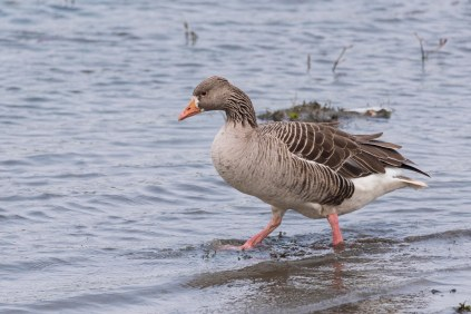 A hybrid Greylag/White-fronted goose??