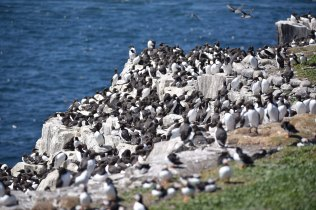 More than a few Guillemot!