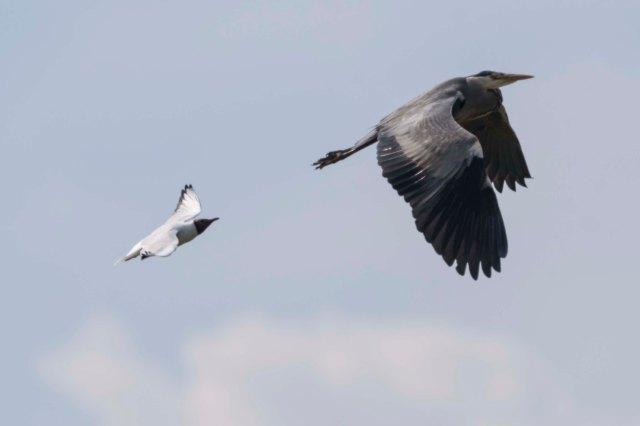Gull & Heron