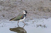 A Lapwing explores the mud at Wath Ings