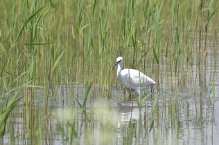 A Little Egret fishing for its lunch