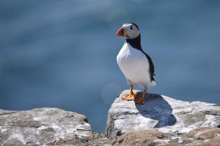 A lovely Puffin sits on a cliff edge