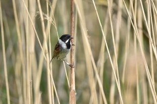 A cracking-looking male Reed Bunting