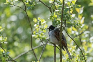 A Reed Bunting on Green Lane