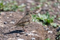 A Rock Pipit with a tasty meal