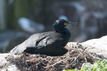 A Shag sits tightly on its nest.