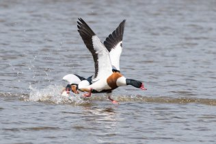 These Shelduck couldn't quite see eye to eye!