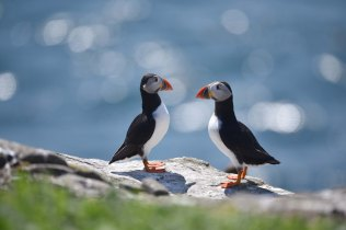 Talking Heads - Puffins on Inner Farne