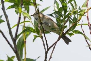 A beautiful Willow Warbler on Green Lane