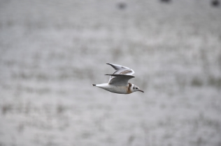 A juvenile Black Headed Gull flying over the Wader Scrape