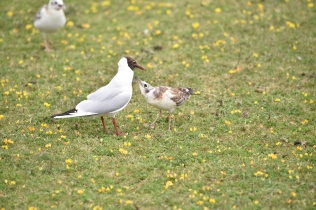 A juvenile BHH Gull begs for food from its parent