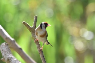 A lovely Goldfinch in the sunshine