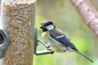 A Great Tit visits a feeder