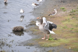 A Greylag Goose stretches its wing muscles at Wath Ings