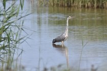 A Heron on guard, watching for movement in the water