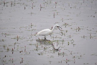 A Little Egret fishing on Wath Ings