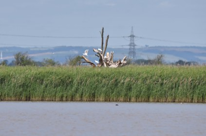 Spoonbills roosting in a dead tree opposite the Main Hide at Alkborough