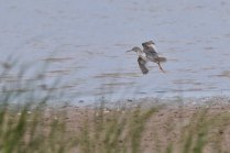 A Spotted Redshank, erm... spotted from the Main Hide