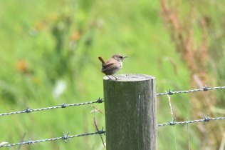 Always pleasing to spy a Wren - they don't stay long!