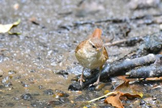 A Wren on the banks of a stream