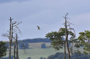 A somewhat distant Osprey flying over the loch