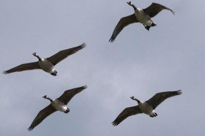 Canada Geese flying over Wath Ings