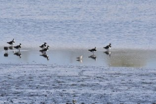 A Curlew Sandpiuper dwarfed by Lapwings