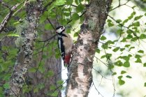 A male Great Crested Woodpecker