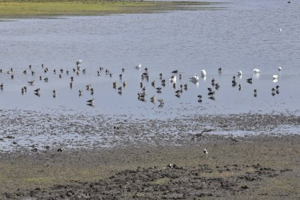 Spot the Golden Plover - there are several to find!