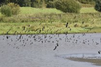 A mixed flock of Starlings and Lapwings at the Wader Scrape