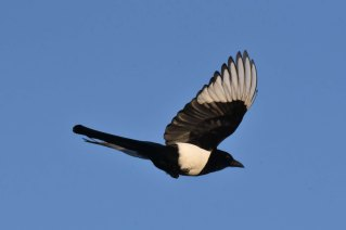 A Magpie flies overhead near Xerox Hide