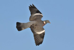 A beautiful Woodpigeon soars overhead near Xerox Hide