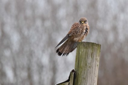 A Kestrel watches over the Tree Sparrow Farm...