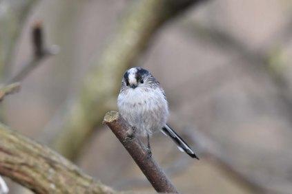 A beautiful little Long Tailed Tit