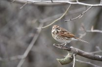 A female Reed Bunting