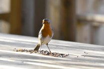 A sprightly Robin guarding his haul.