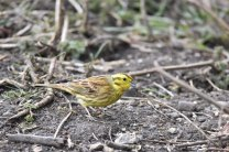 A male Yellowhammer at the Tree Sparrow Farm
