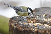 A Great Tit pecking away at the seed