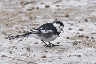 This Pied Wagtail was dwarfed by the nearby Mute Swans