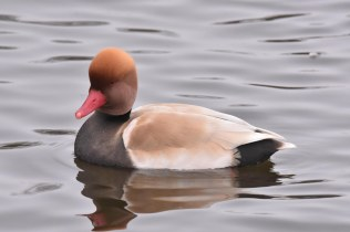 A Red-Crested Pochard by the Visitor's Center