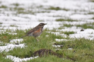 A Redwing looking for worms on the frozen ground