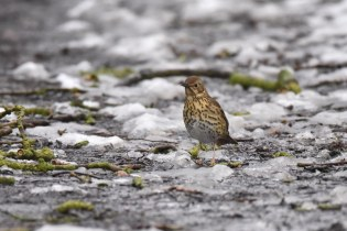 A Song Thrush on the path infront of me