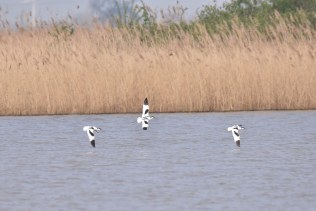 Three Avocet deciding to join the party!