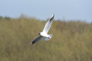 A Black Headed Gull flies over the Wader Scrape